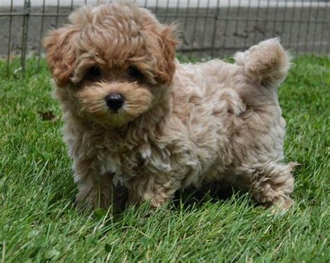 poodle shih tzu terrier mix designer and mix puppies morkies maltipoos maltipoos terrier shih