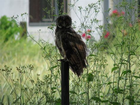 owl in backyard owl in my back yard owls photo 31409424 fanpop