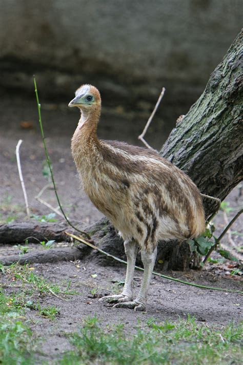 filecasuarius casuarius artis zoo netherlands chick8a