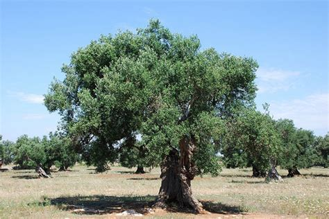 how much do olive trees cost howmuchisit org
