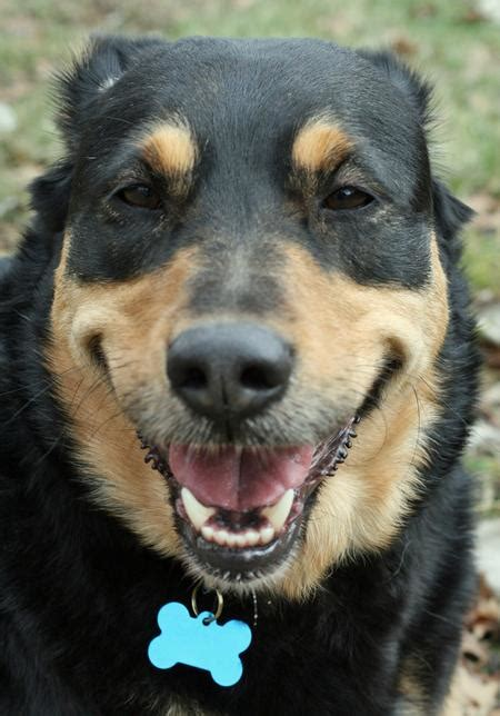 dogs that look like rottweilers german shepherd rottweiler mix looks just like our foster bandit the