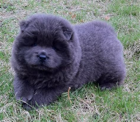 chow chow puppies for sale in ohio puppies for sale chow chow chow chows f category