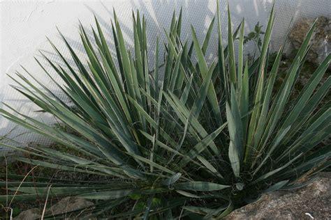 garten yucca umpflanzen yucca filamentosa yucca flaccida f 228 dige palmlilie