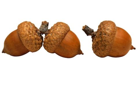 dogs acorns can conkers and acorns make dogs ill the potential perils of autumn gardens for dogs