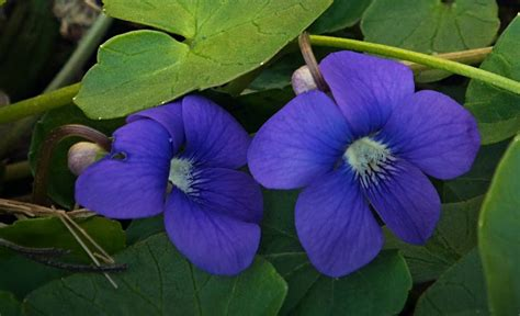 new jersey state flower common meadow violet 53 best aceo state flower series images on pinterest art