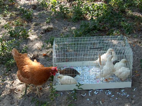 chickens in your backyard how to raise chickens in your backyard how to raise