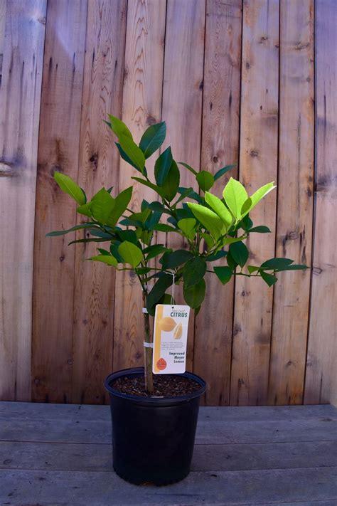 indoor fruit trees lemon lime