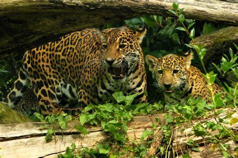 facts about jaguar jaguar animal facts