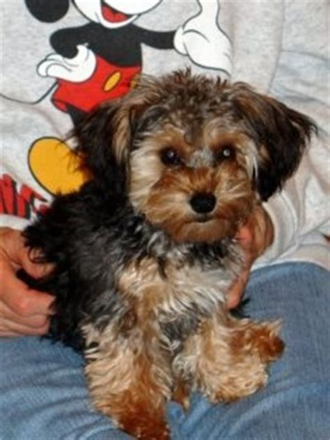 multi colored yorkies 39 best images about puppies on poodles yorkie and poodle mix