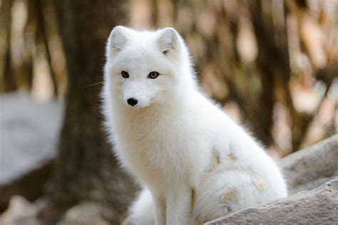 file arctic fox glowing in the sun 15844331792 jpg