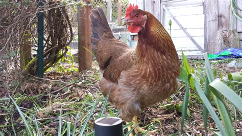 Backyard Chickens For Sale Uk Welsummer For Sale Chickens Breed Information Omlet