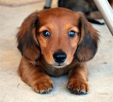 best small dogs to own 17 best ideas about small breeds on small dogs small puppy