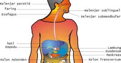 Fisiologi Kerja Dan Olah Raga Foto Fungsi Tubuh Manusia Pada Kerja pengantar anatomi fisiologi