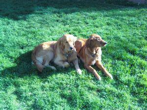 golden retriever puppies bakersfield ca golden retriever puppies in california