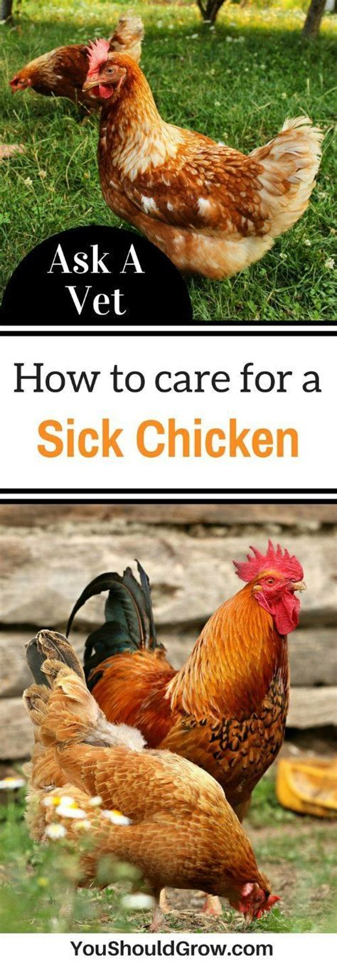How To Care For Chickens In Your Backyard 266 Best Backyard Chickens Images On Chicken Breeds Chicken Coops And Poultry Farming