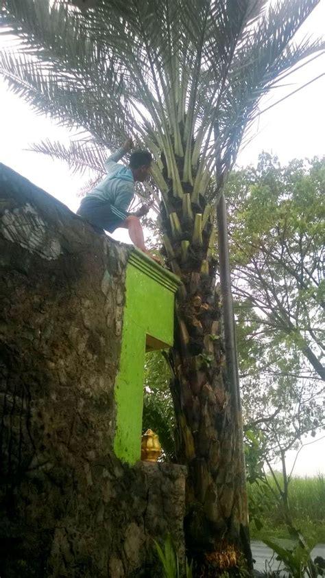 Jual Bibit Buah Kurma jual pohon kurma di karawang jual bibit tanaman unggul