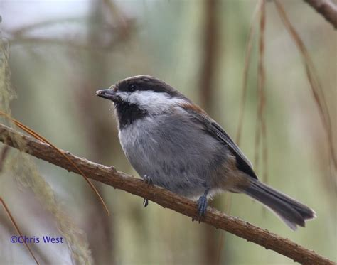 pin by chris west on best birds of southern california