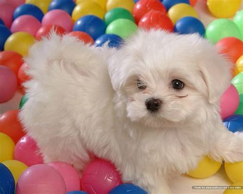 baby maltese puppies 1600 1200 white maltese puppy maltese maltese puppies wallpaper 9 wallcoo net