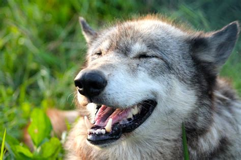 9 best images about wolf happy wolf by cometbt on deviantart