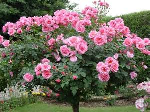summer winter rose tree care staking of rose standards