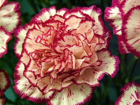 i fiori di giugno fiori di giugno fiorista come scegliere i fiori a giugno