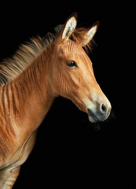 creature comforts horse 113 best images about zorse zonkey zoney ref on