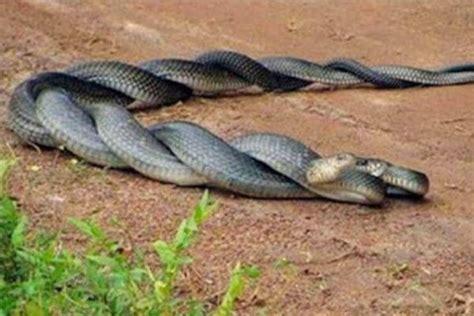 como se aparean los animales con humanos caracter 237 sticas de las serpientes c 243 mo es qu 233 come y