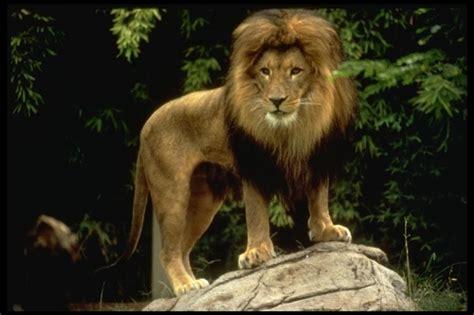 imagenes de tres leones juntos le 245 es entenda como esses animais vivem na savana africana
