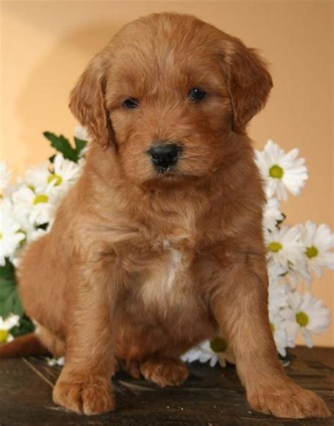 goldendoodle puppy nutrition 1000 images about puppies on f1b goldendoodle
