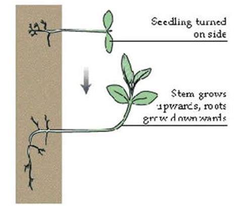 tropic movement in plants bengalstudents - Tropic Movements In Plants