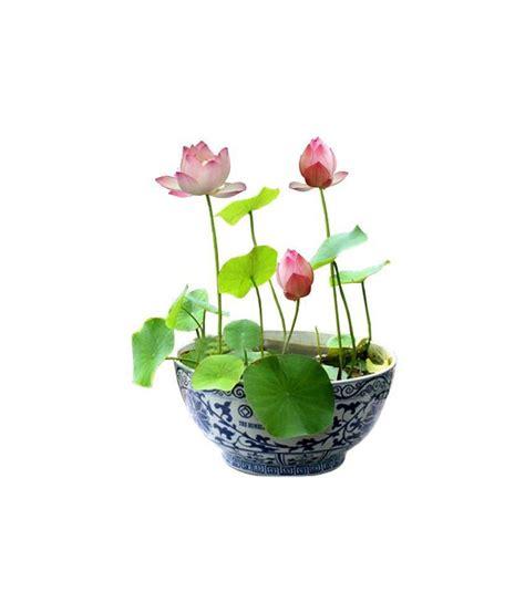 lotus flower seed alkarty lotus flower seeds 12 buy alkarty lotus flower