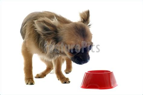 chihuahua dog eating food from a bowl royalty free stock pets puppy chihuahua and food bowl stock picture