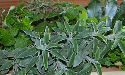 erbe aromatiche in cucina caratteristiche delle principali erbe aromatiche in