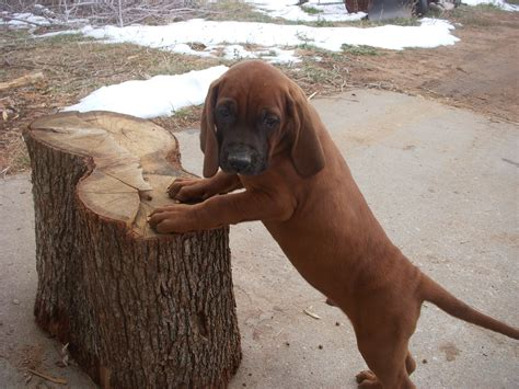coonhound puppies redbone coonhound info temperament puppies pictures