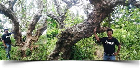 pohon peneduh pohon sosis palem sadeng pohon glodokan