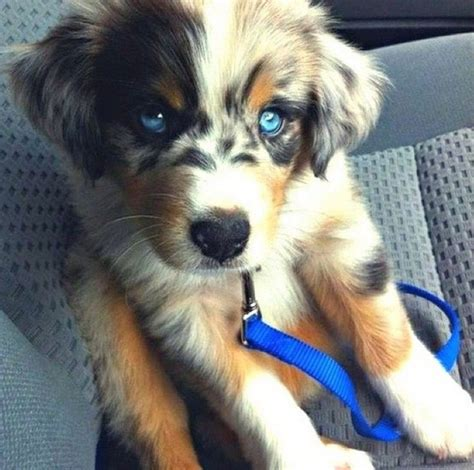 alaskan husky golden retriever mix alaskan husky golden retriever mix dogs australian shepherd puppys