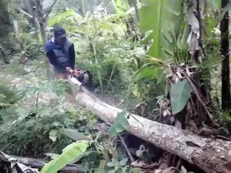 cara belah pohon kelapa chain saw stihl youtube