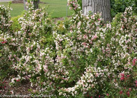 Mont Blanc 6820 3 sonic bloom 174 pearl reblooming weigela weigela florida