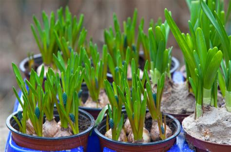 fiori di marzo fiori di marzo pollicegreen