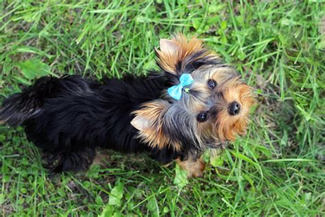puppy names for yorkies find yorkie names for your companion