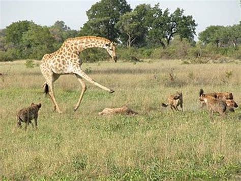 imagenes de leones cazando jirafas jirafa patea a un leon videos de animales