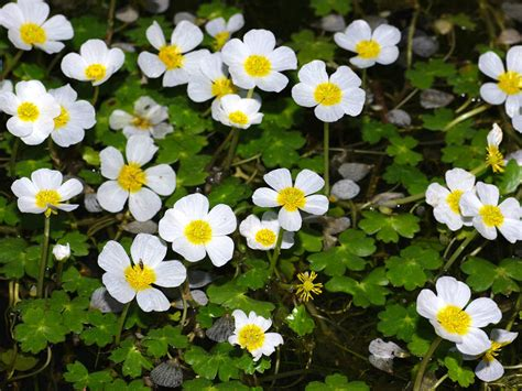 ranunculus peltatus pond water crowfoot world of flowering plants