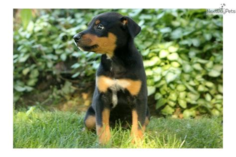 blue heeler yorkie mix meet a mixed other puppy for sale for 400 molly doberman blue heeler mix