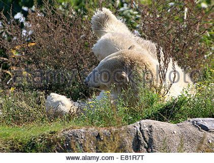 polar lying on his back barter island alaska stock photo royalty free image 85570744