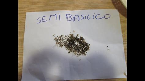 come curare il basilico in vaso come curare pianta di basilico great basilico with come