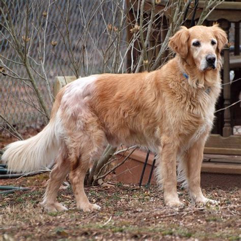 delaware golden retriever rescue 34 best images about available dogs dvgrr on adoption care and