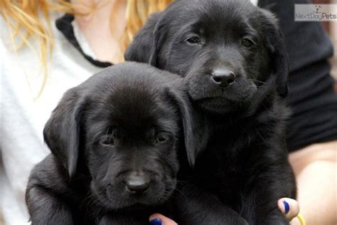 puppies for sale missoula montana dogs and puppies for sale and adoption oodle marketplace