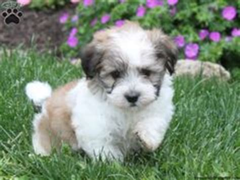 havanese dogs for sale alberta 1000 images about i want a havanese on havanese puppies havanese dogs