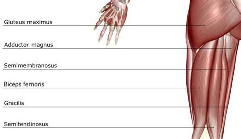 hamstring muscles diagram how to prevent and recover from acute hamstring injuries