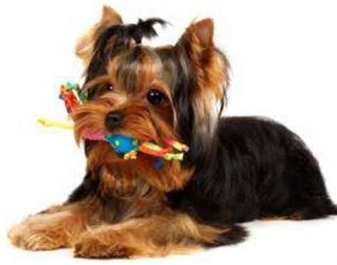 cubes for teething puppies yorkie teething terrier information center